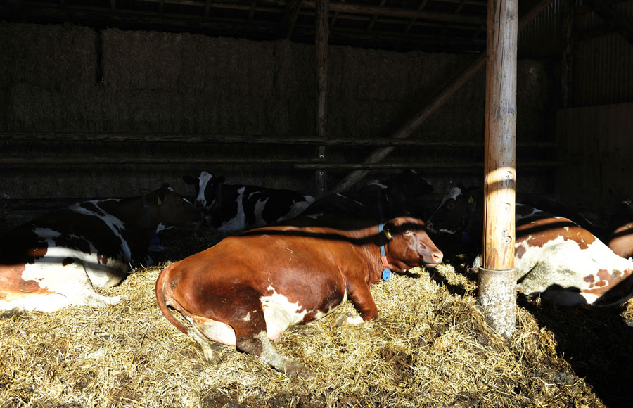 哈斯家的牛舍里的幼年奶牛