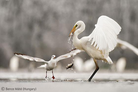 2011年bbc野生动物摄影优秀作品展-科技频道-和讯网